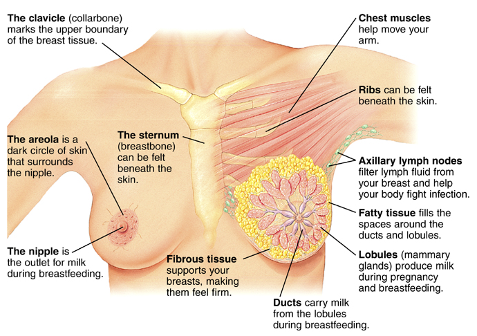 Parts Of A Breast — Breast News Magazine